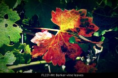 fl221-mt-barker-wa-vine-leaves
