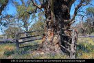 OB125-Old-Wilpena-Station-SA-Cornerpost-around-old-redgum