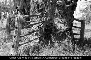 OB126-Old-Wilpena-Station-SA-Cornerpost-around-old-redgum-B&W