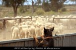 OB127-Willow-Springs-Station-SA-sheep-muster