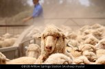 OB128-Willow-Springs-Station-SA-sheep-muster
