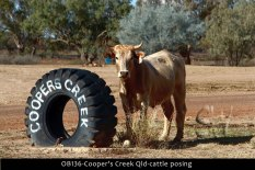 OB136-Cooper's-Creek-Qld-cattle-posing