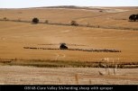 OB148-Clare-Valley-SA-herding-sheep-with-sprayer