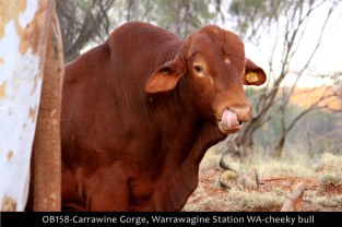 OB158-Carrawine-Gorge,-Warrawagine-Station-WA-cheeky-bull