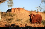 RS189-Carrawine-Gorge-Warrawagine-Station-WA-bull-grazing-near-river