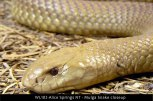 WL102-Alice-Springs-NT-Mulga-snake