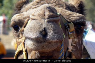 WL106-Alice-Springs-NT-Camel