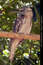WL113-Darwin-NT-Tawny-Frogmouth
