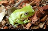 WL115-Darwin-NT-Tree-Frog