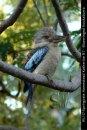 WL117-Springvale-Homestead-NT-Kookaburra