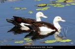 WL121-Kununurra-WA-Ducks