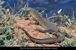 WL122-Kununurra-WA-Monitor-Lizard