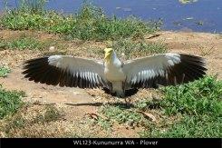 WL123-Kununurra-WA-Plover