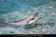 WL132-Seaworld-Gold-Coast-Qld-dolphin