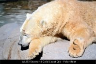 WL133-Seaworld-Gold-Coast-Qld-Polar-bear