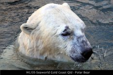 WL135-Seaworld-Gold-Coast-Qld-Polar-bear