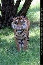 WL139-Western-Plains-Zoo-Dubbo-NSW-Tiger