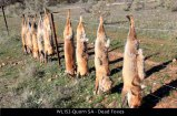 WL152-Quorn-SA-Dead-Foxes
