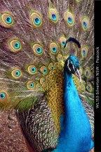 WL153-Silverton-NSW-Peacock