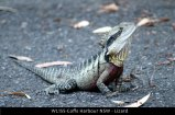 WL155-Coffs-Harbour-NSW-Lizard