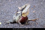 WL157-Coffs-Harbour-NSW-Lizard