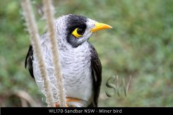 WL170-Sandbar-NSW-Miner-bird