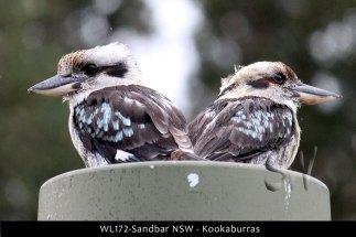WL172-Sandbar-NSW-Kookaburra