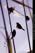 WL176-Ayr-Qld-Finches