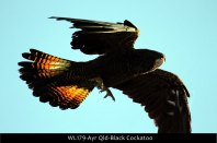 WL179-Ayr-Qld-Black-Cockatoo