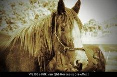WL192a-Kilkivan-Qld-Horses-sepia-effect