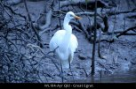 WL194-Ayr-Qld-Great-Egret