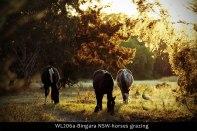 WL206a-Bingara-NSW-horses-grazing-LOMO