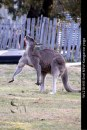WL210-Hill-End-NSW-Kangaroo-yoga