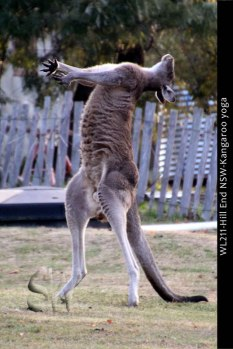 WL211-Hill-End-NSW-Kangaroo-yoga