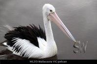 WL213-Mallacoota-VIC-pelican