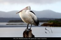 WL214-Mallacoota-VIC-pelican-near-marina