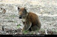 WL215-Colquhoun-State-Park-VIC-wild-koala