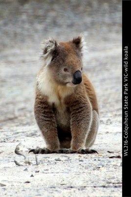 WL216-Colquhoun-State-Park-VIC-wild-koala