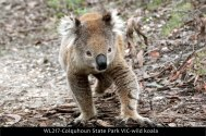 WL217-Colquhoun-State-Park-VIC-wild-koala