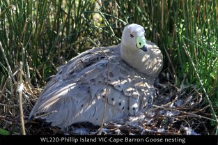 WL220-Phillip-Island-VIC-Cape-Barron-Goose-nesting