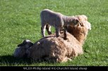 WL221-Phillip-Island-VIC-Churchill-Island-sheep
