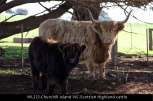WL222-Churchill-Island-VIC-Scottish-Highland-cattle
