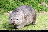 WL225-Wilsons-Promontory-VIC-Wandering-Wombat