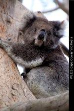 WL226-Cape-Otway-VIC-Koala