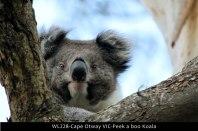 WL228-Cape-Otway-VIC-Peek-a-boo-Koala
