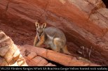 WL232-Flinders-Ranges-National-Park-SA-Brachina-Gorge-Yellow-Footed-Rock-Wallaby