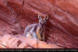 WL233-Flinders-Ranges-National-Park-SA-Yellow-Footed-Rock-Wallaby