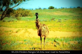 WL234-Flinders-Ranges-SA-Emu-near-road-to-Parachilna