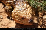 WL235-Flinders-Ranges-SA-Sleepy-Lizard