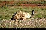 WL237-Flinders-Ranges-SA-Emu